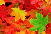 autumn-leaves-10